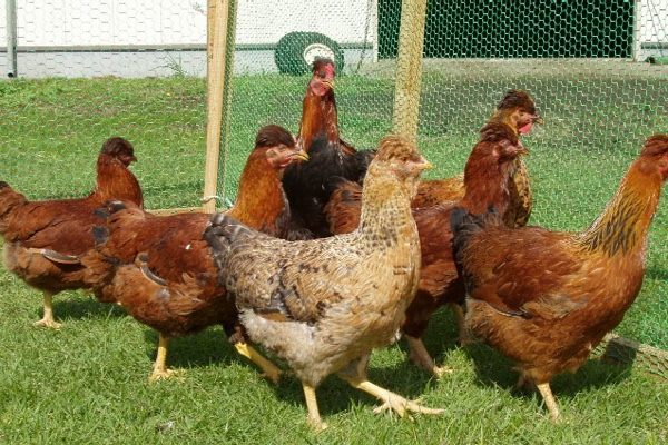 歴史ある鶏を改良開発<br /> みやざき地頭鶏